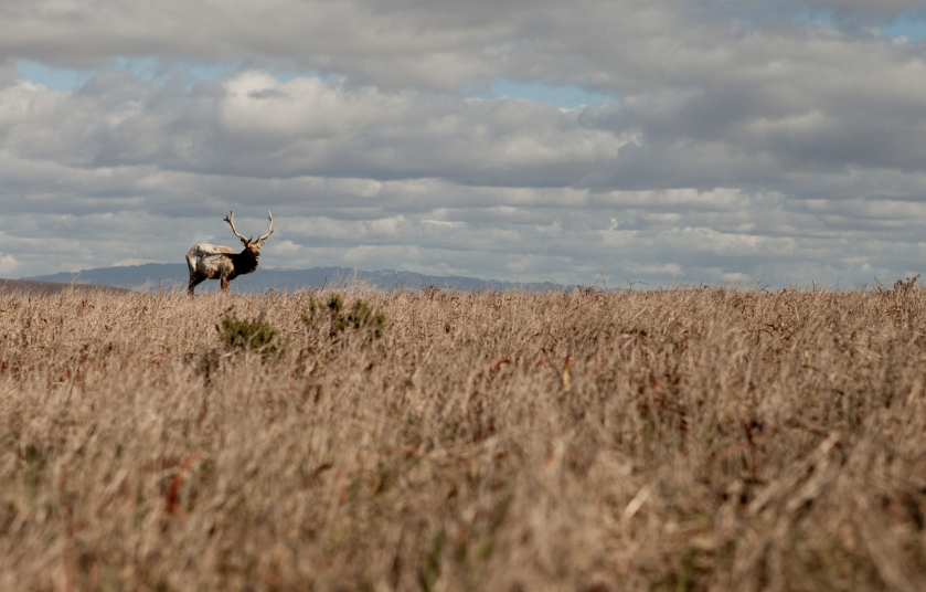 A lone Tule Elk seen at Tomales Point in the Point Reyes National Seashore. (We saw quite a lot of them- there's a herd of around 400 that live on Tomales !)