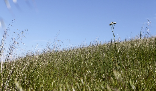 Yarrow reaches above some wild oat
