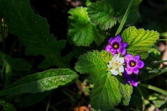 Blue-eyed grass (Sisyrinchium bellum) - not a grass, but an iris- gets close with a California blackberry (Rubus ursinus)