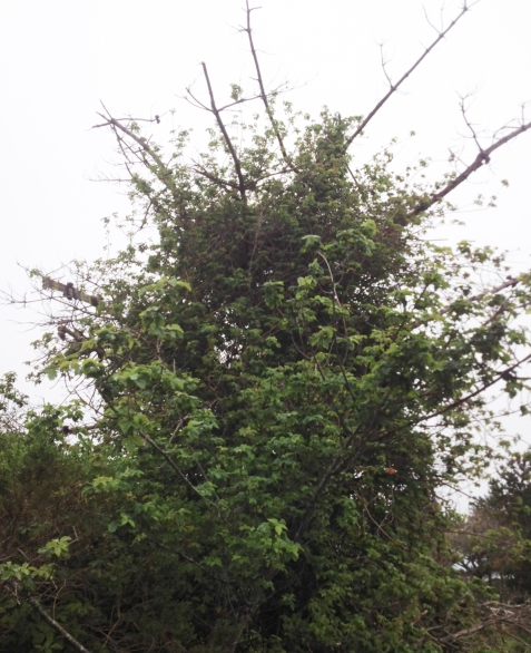 Yes, this is a tree of poison oak.