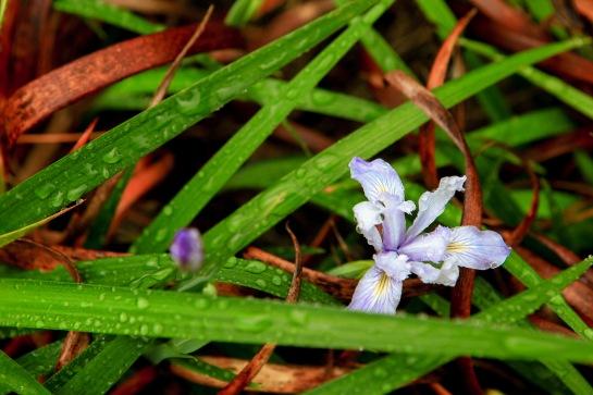 A pale Douglas Iris (Iris douglasiana) after a brief April storm