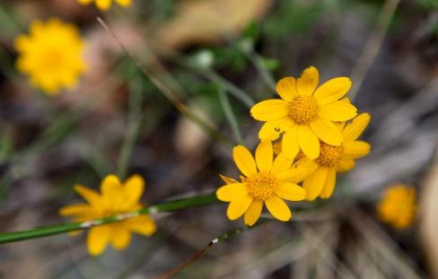 Eriophyllum lanatum (Wooly sunflower, or Oregon sunshine)