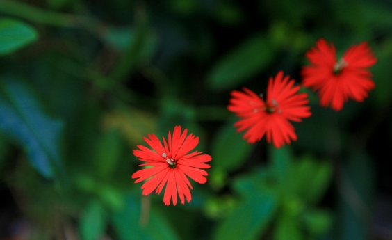 Siliene lacinata (Red Indian Pink)