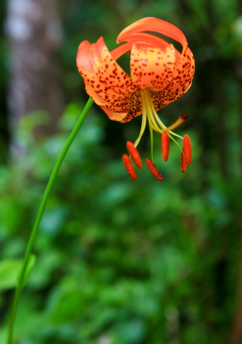 ...and then I went back to the same spot one month later and found this stunning Leopard Lily (Lilium pardalinum) in full bloom