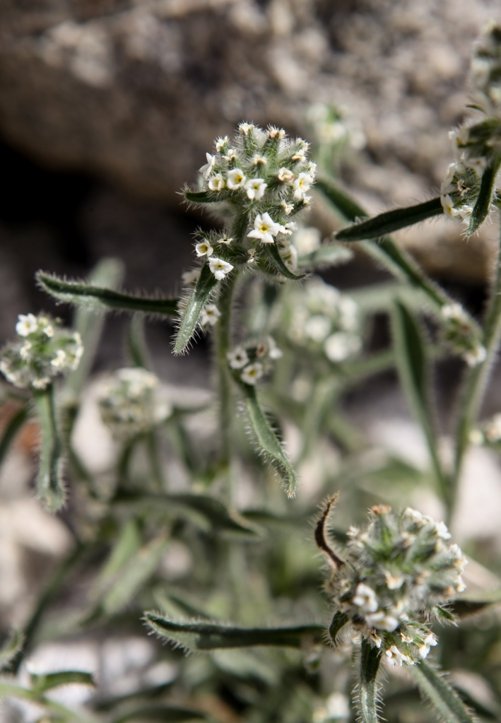 A little bit of Mt. Dana on July 31, 2015, botanizing at Ellery Lake July 31, 2015, and botanizing in McGee Creek/Rock lake on Saturday August 1, 2015. Cryptanthus spp., a member of the Borage family