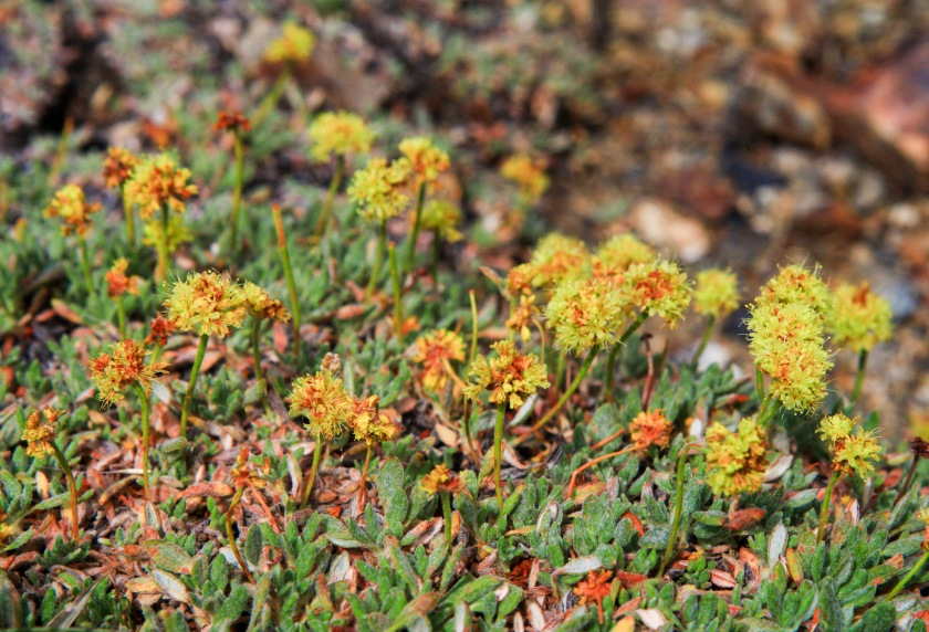 A little bit of Mt. Dana on July 31, 2015, botanizing at Ellery Lake July 31, 2015, and botanizing in McGee Creek/Rock lake on Saturday August 1, 2015. Eriogonum Rosence (Rosy buckwheat)
