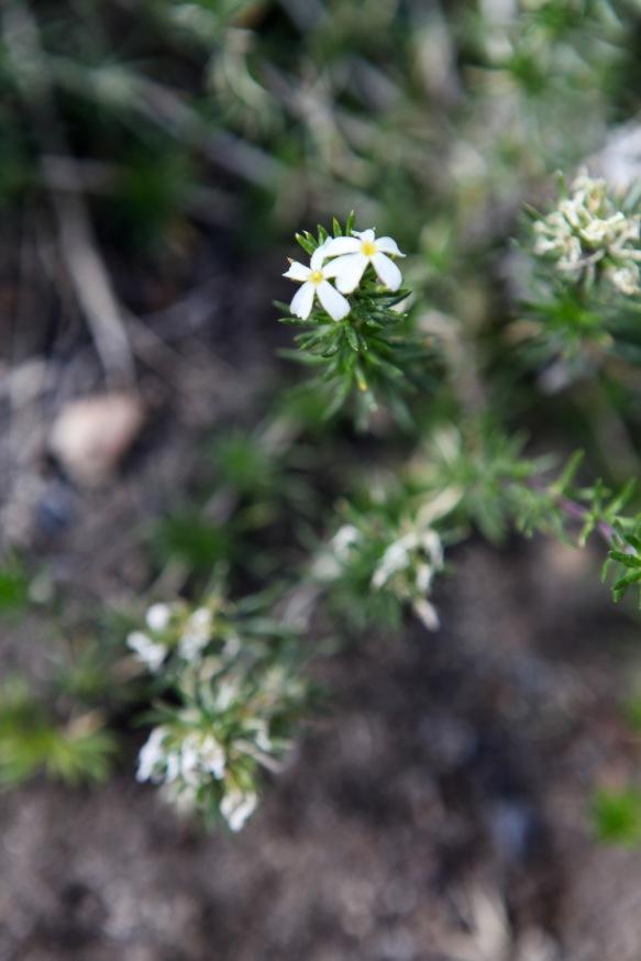 Linanthus pungens (Prickly phlox)