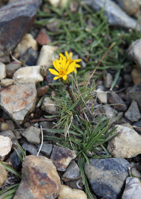 A little bit of Mt. Dana on July 31, 2015, botanizing at Ellery Lake July 31, 2015, and botanizing in McGee Creek/Rock lake on Saturday August 1, 2015. (Pyrrocoma apargioides (Alpine pyrrocoma)