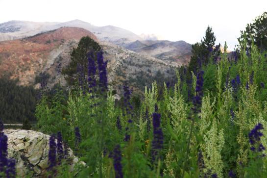A little bit of Mt. Dana on July 31, 2015, botanizing at Ellery Lake July 31, 2015, and botanizing in McGee Creek/Rock lake on Saturday August 1, 2015.