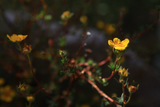 A little bit of Mt. Dana on July 31, 2015, botanizing at Ellery Lake July 31, 2015, and botanizing in McGee Creek/Rock lake on Saturday August 1, 2015. Dasiphora fruticosa   (shrub cinquefoil)