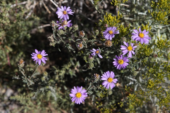 A little bit of Mt. Dana on July 31, 2015, botanizing at Ellery Lake July 31, 2015, and botanizing in McGee Creek/Rock lake on Saturday August 1, 2015. (erigeron compositus)