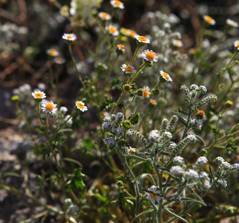 Rock Daisy (Perityle emoryi) and Scented Cryptantha (Cryptantha utahensis)