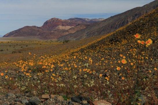Desert Gold (Geraea canescens)