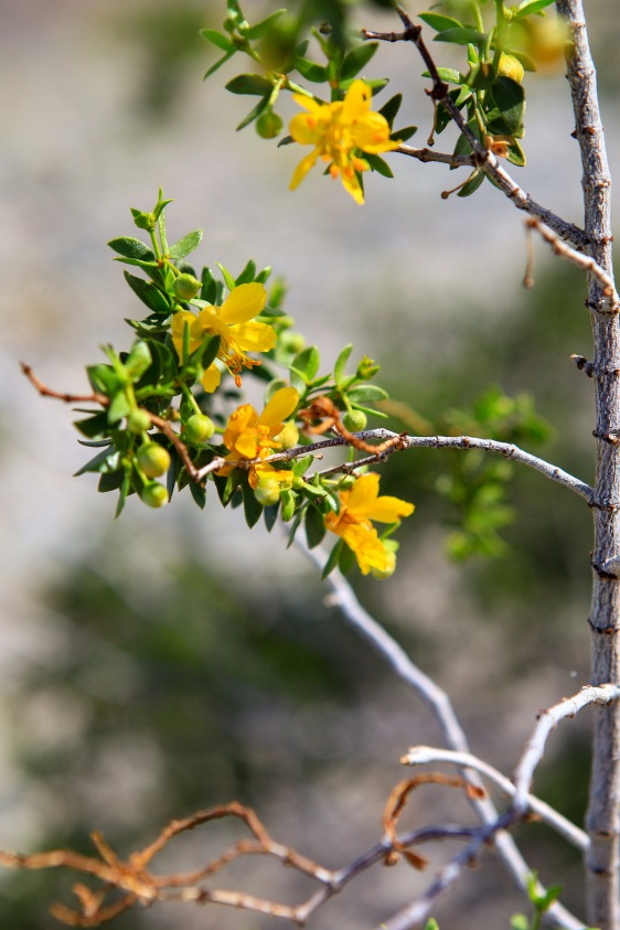 A flowering Creosotebush (Larrea tridentata)