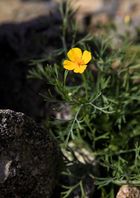 Desert Gold Poppy (Eschscholzia glyptosperma)