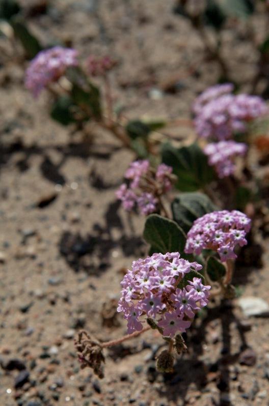 Desert Sand Verbena (Arbonia villosa)