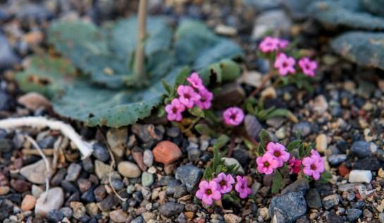 Purplemat (Nama demissum)