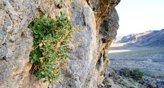 Desert rock nettle (Eucnide urens) appropriately growing out of a rock.