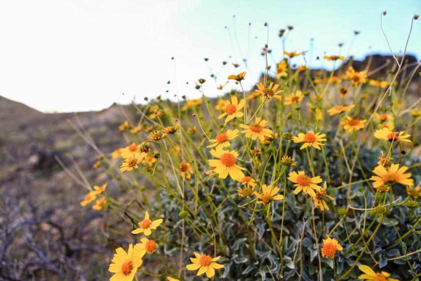 Exploring flowers near Shoshone (highway 178) on February 24, 2016