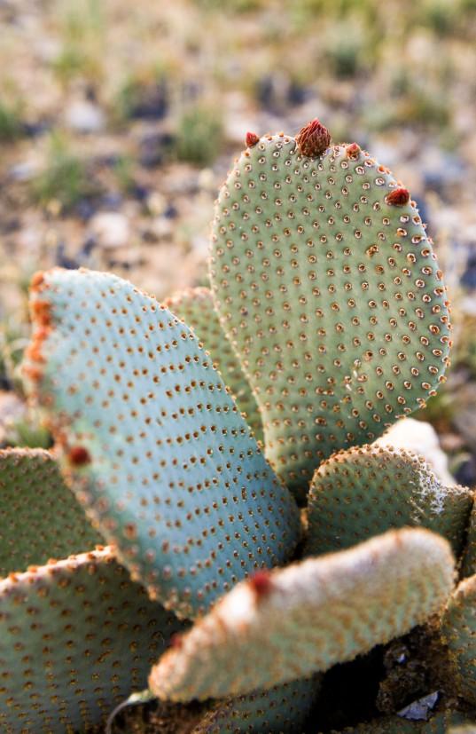 Beavertail cactus (Opuntia basilaris), not quite flowering yet!