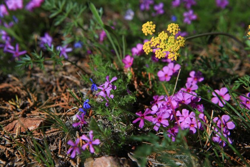 Flowers along the Gray Butte trail on Weds. April 13, 2016